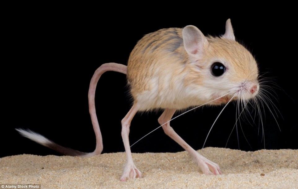 Ο jerboa, ο μικρός ποντικός