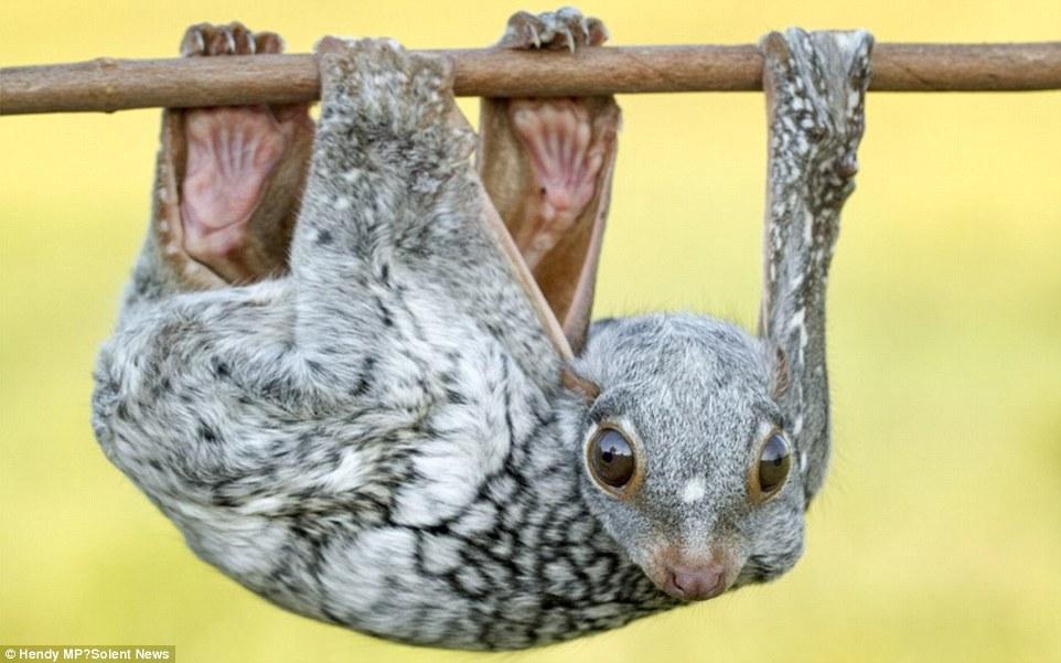 Ιπτάμενος λεμούριος