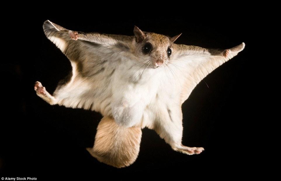 Ο νότιος ιπτάμενος σκίουρος