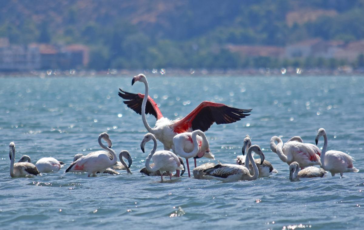 Ένα κοπάδι με πενήντα πανέμορφα φλαμίνγκο αφίχθη στον Υδροβιότοπο Ναυπλίου Νέας Κίου, Σάββατο 3 Σεπτεμβρίου 2016. Τα φοινικόπτερα  παραμένουν στον Υδροβιότοπο της Αργολίδος για ένα διάστημα μέχρι να ανακτήσουν δυνάμεις από το μακρύ ταξίδι της μετανάστευσης. Το μεταναστευτικό  ταξίδι των φοινικόπτερων της δεύτερης περιόδου έχει κατεύθυνση από δυτικά προς ανατολικά με προορισμό την αραβική χερσόνησο, Περσικό κόλπο και Ινδίες. Ο φιλόξενος  χώρος του Υδροβιότοπου της περιοχής αποτελεί ένα ιδανικό μέρος για ξεκούραση των φοινικόπτερων μιας και είναι πλούσιο σε τροφή. Αρκετοί πολίτες έσπευσαν να θαυμάσουν τα όμορφα  φλαμίνγκο. ΑΠΕ-ΜΠΕ/ΑΠΕ-ΜΠΕ/ΜΠΟΥΓΙΩΤΗΣ ΕΥΑΓΓΕΛΟΣ