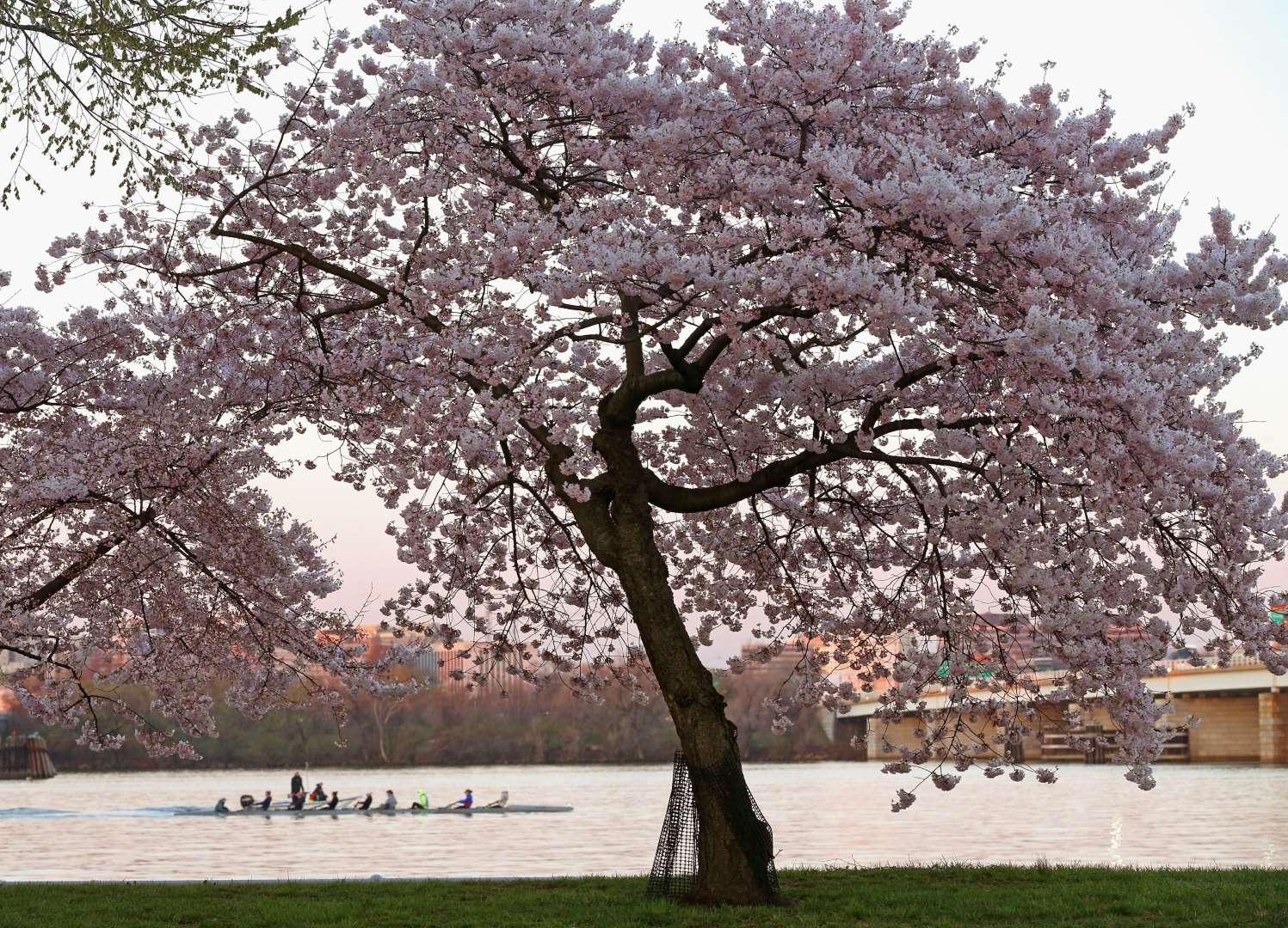 Υπέροχες ανοιξιάτικες εικόνες με ανθισμένες κερασιές από όλο τον κόσμο