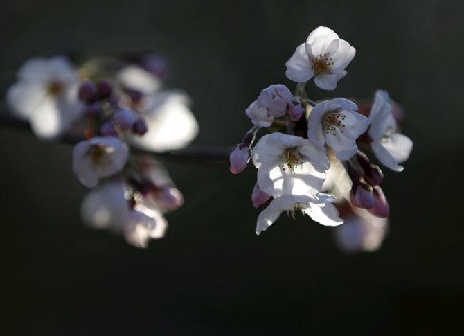 Άνοιξη: Οι κερασιές άνθισαν και οι φωτογραφίες τους εντυπωσιάζουν όλο τον πλανήτη!