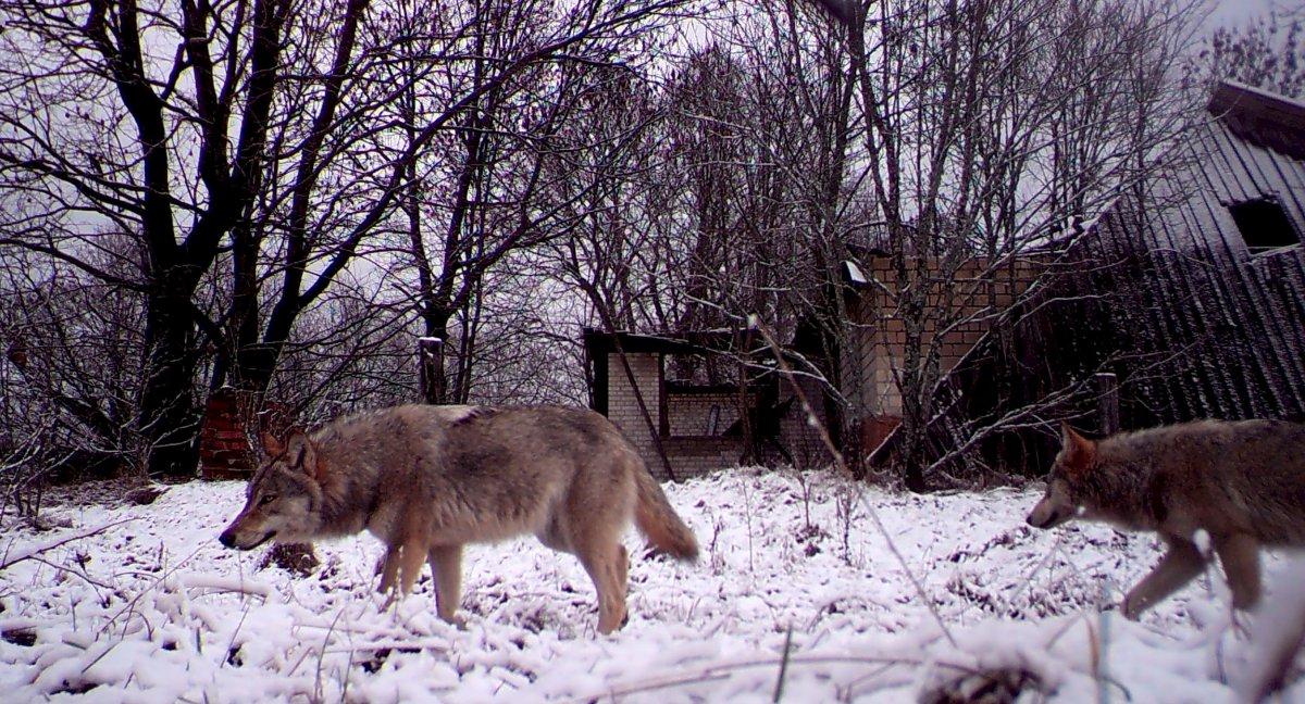 Στο Τσερνόμπιλ η άγρια φύση οργιάζει...Όσο απουσιάζουν παντελώς οι άνθρωποι,τα ζώα αυξάνονται αλματωδώς