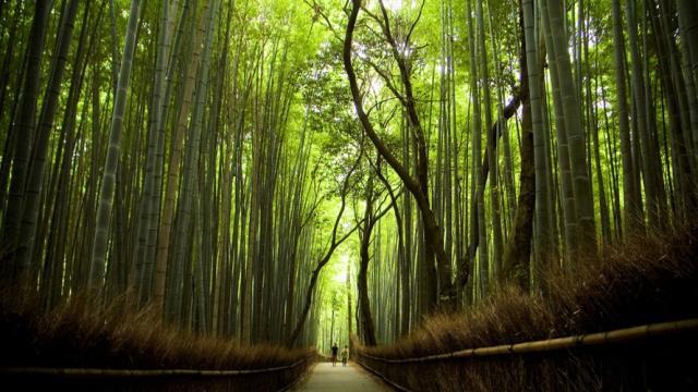 Δάσος με μπαμπού στην Ιαπωνία