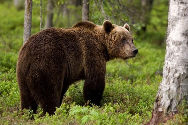 Απίστευτο: Καταφύγιο σε σπίτι στη Φλώρινα βρήκε μια αρκούδα με τα μικρά της! (video)