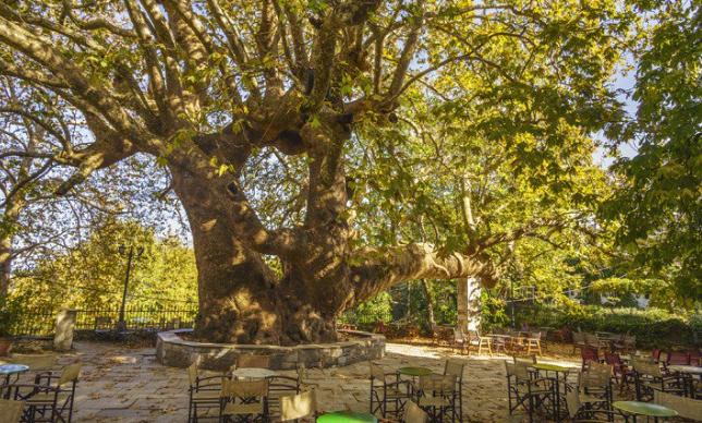 Αυτό το γνωρίζατε; Σε ποιο χωριό της Ελλάδας βρίσκεται ο γηραιότερος πλάτανος