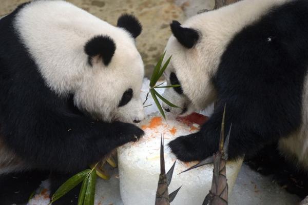 Panda γιορτάζουν τα γενέθλια τους με πανέμορφο τρόπο στο πάρκο του San Diego (VIDEO)