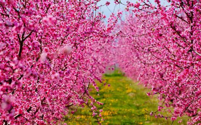 """Ανθισμένες ροδακινιές: Το φαινόμενο που """"βάφει"""" ροζ τον κάμπο της Ημαθίας!"""