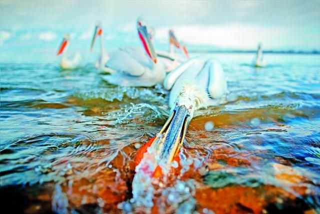Πελεκάνοι στη Λίμνη Κερκίνη