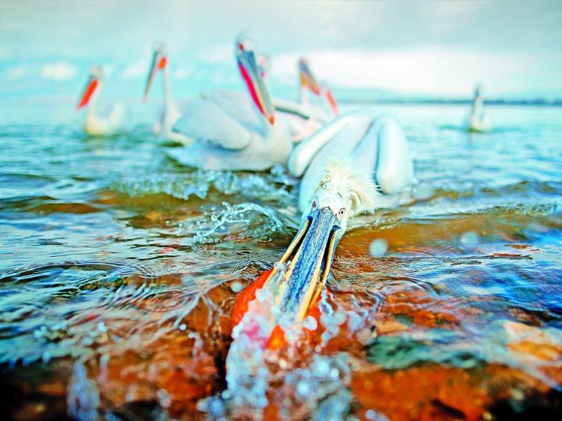 Πελεκάνος Λίμνη Κερκίνη