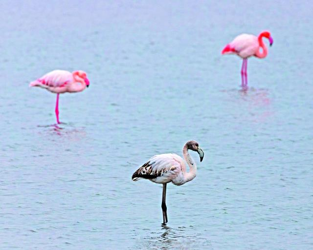 Φλαμέγκο στη Λίμνη Βιστωνίδα