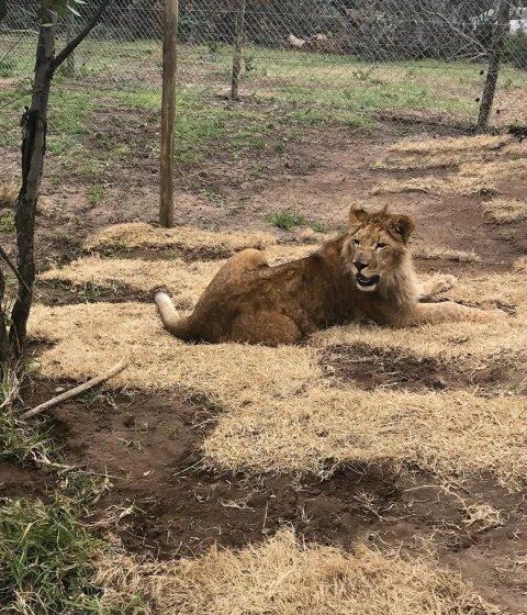 λιοντάρια turkish cargo