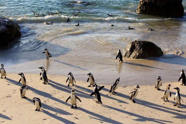 Πιγκουίνοι Κέιπ Τάουν