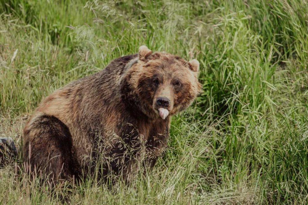 Καφέ αρκούδα στα χόρτα