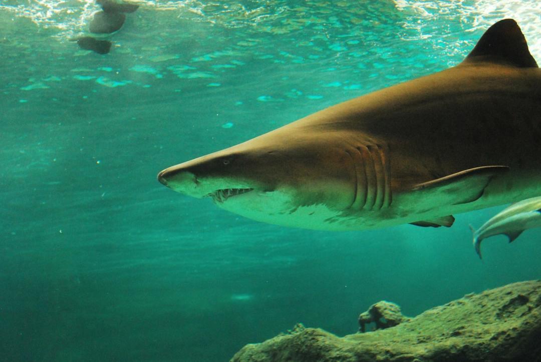 Εκπληκτικό βίντεο με γενναίο κολυμβητή να είναι μόλις ένα μέτρο από τεράστιο καρχαρία!
