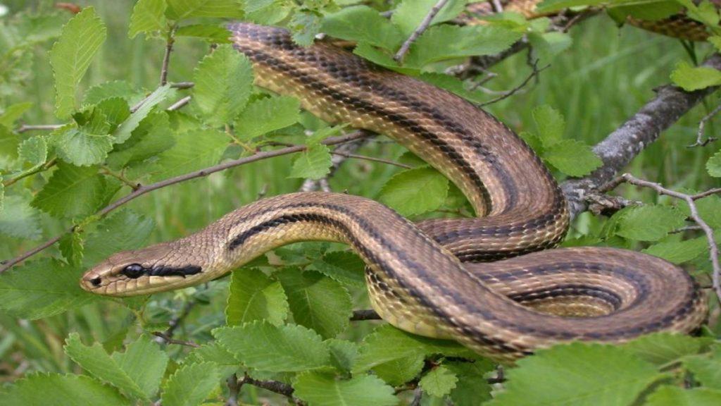 Ένα φίδι λαφιάτης τρόμαξε τους λουόμενους σε παραλία στα Σύβοτα