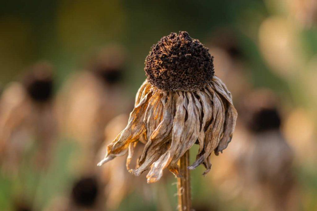 Μαραμένο λουλούδι