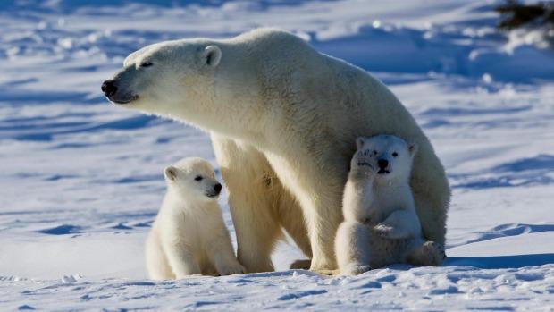 Πολικές αρκούδες στο Τσέρτσιλ του Καναδά