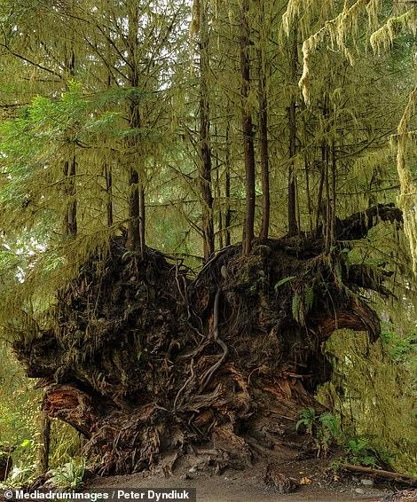 Τροπικό δάσος, Ουάσινγκτον