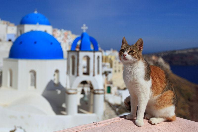 γάτα με φόντο την Καλδέρα