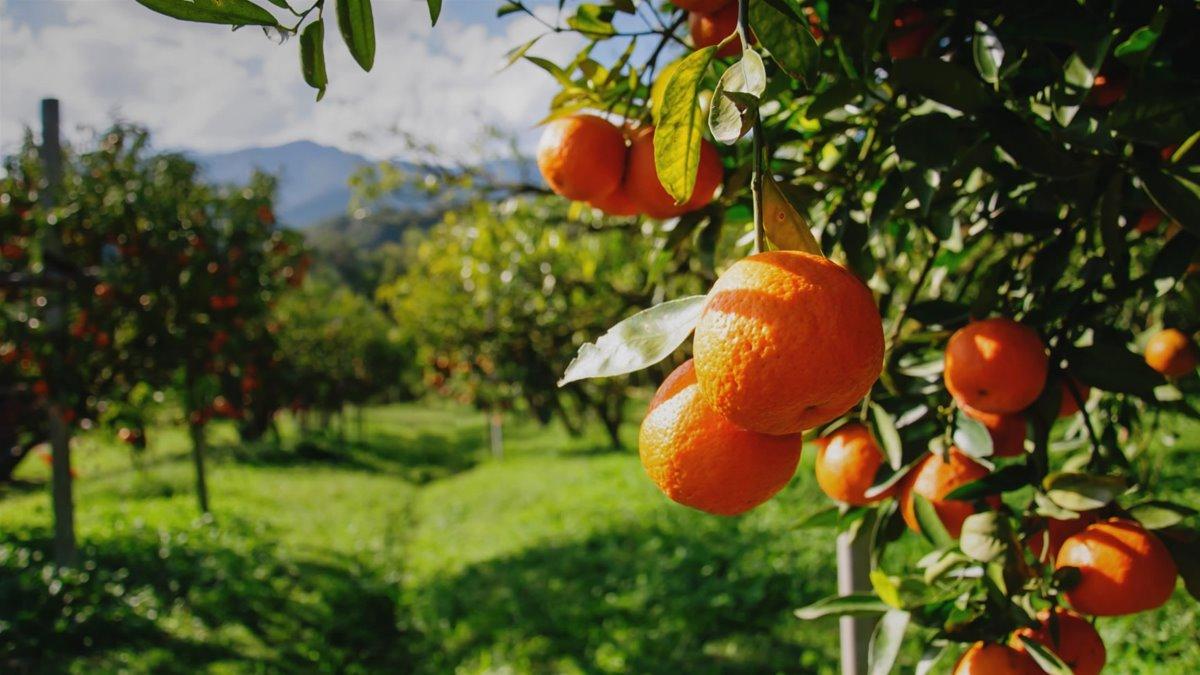 Πορτοκάλια Σπάρτη