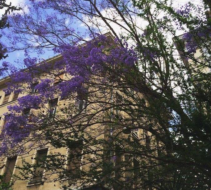 Γιακαράντες στο κέντρο της Αθήνας