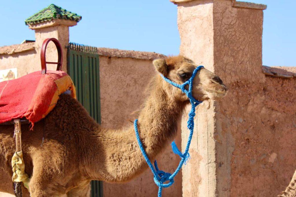 καμήλα Μαρόκο