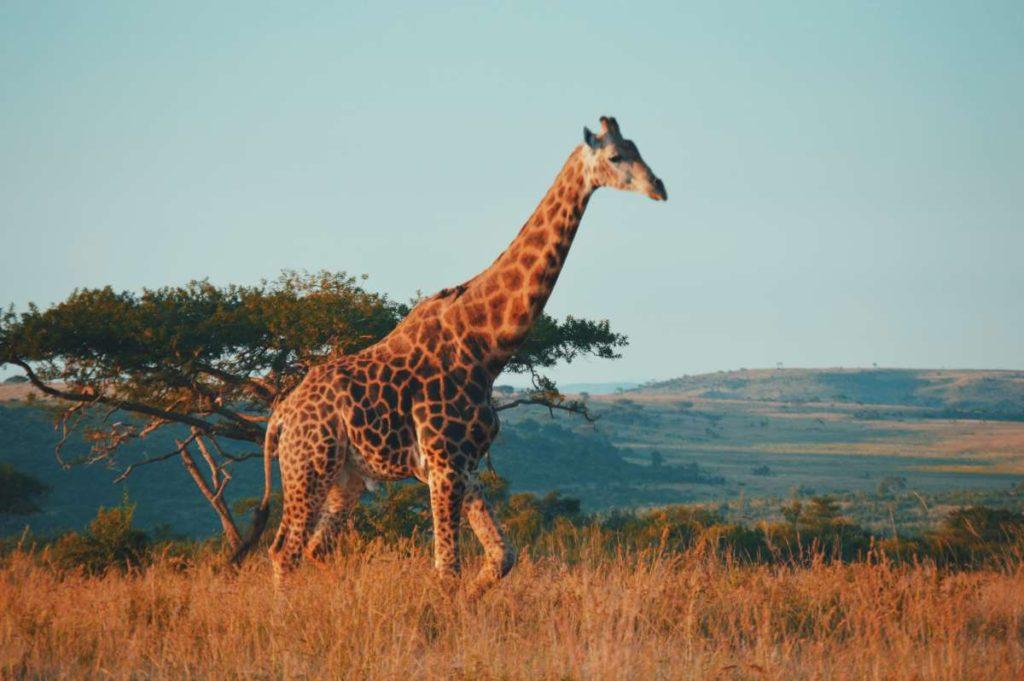 Νότια Αφρική καμηλοπάρδαλη