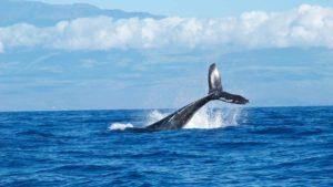 Βοιωτία: Μια φάλαινα σεργιανίζει στον Κορινθιακό κόλπο (βίντεο)
