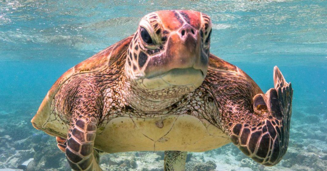 θαλάσσια χελώνα μέσα στο νερό