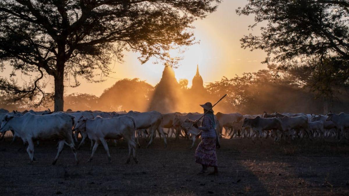 γυναίκα βοσκός στην Μπαγκάν, Μιανμάρ