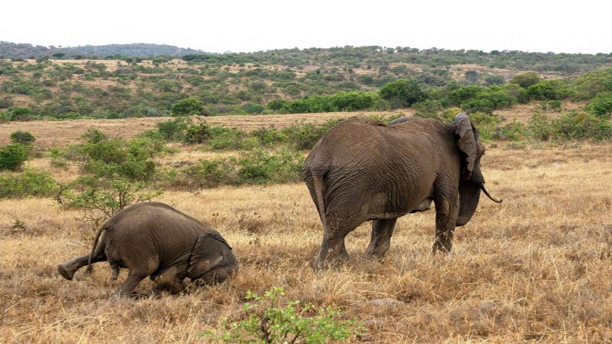 ελέφαντες σε χωράφια