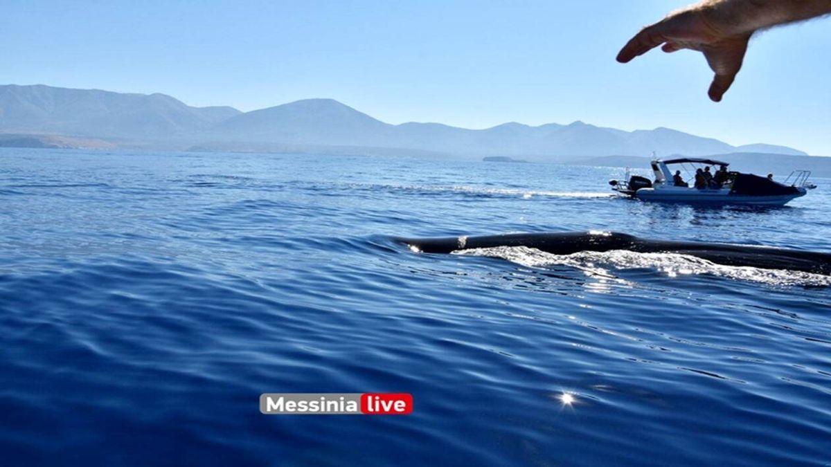 φάλαινα μέζαπος