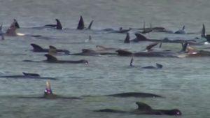 270 φάλαινες έχουν εξωκείλει στην Τασμανία με τους επιστήμονες να κάνουν μεγάλες προσπάθειες για να τις σώσουν