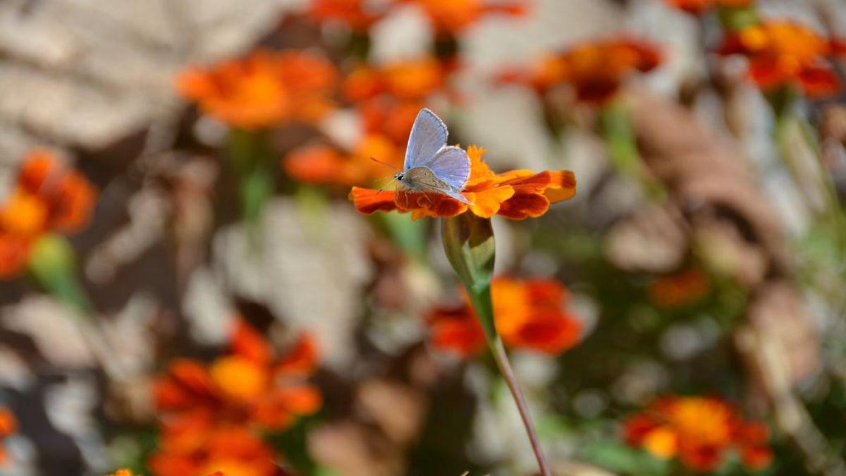 πεταλούδα σε λουλούδι, Στεμνίτσα