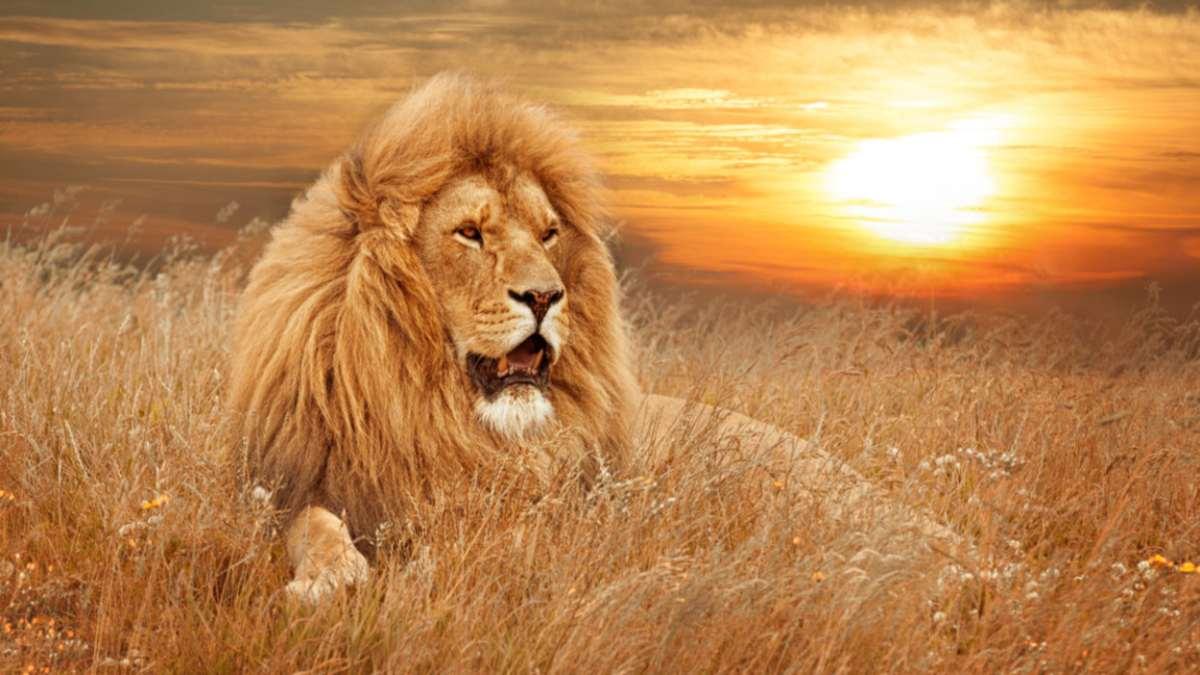 λιοντάρι ηλιοβασίλεμα