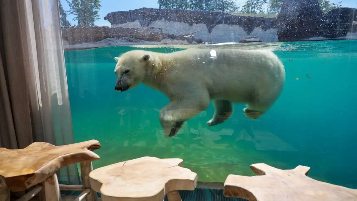 pairi daiza resort υποβρύχιο δωμάτιο πολική αρκούδα