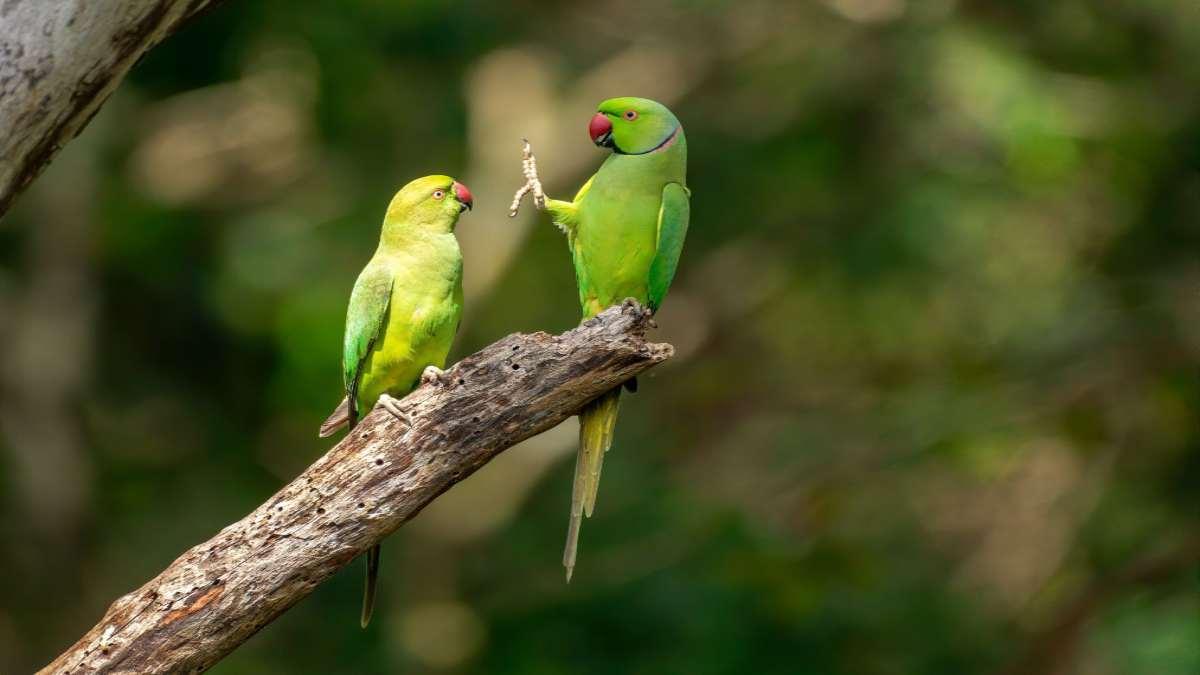 παπαγαλάκια ζευγάρι