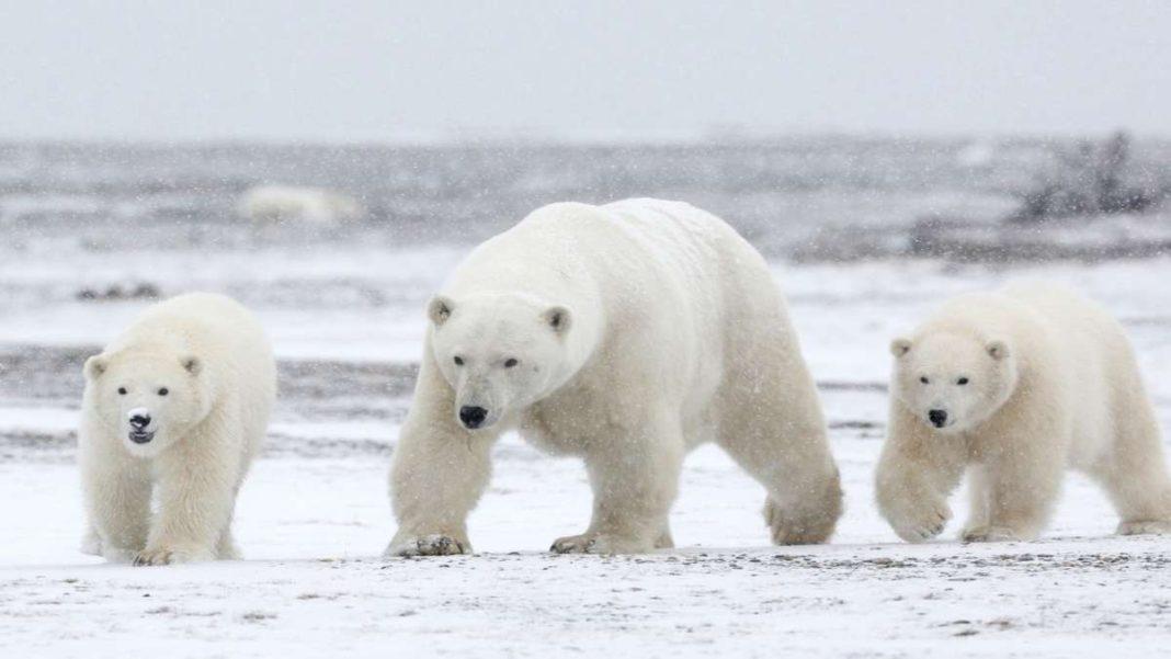 πολική αρκούδα χιόνια