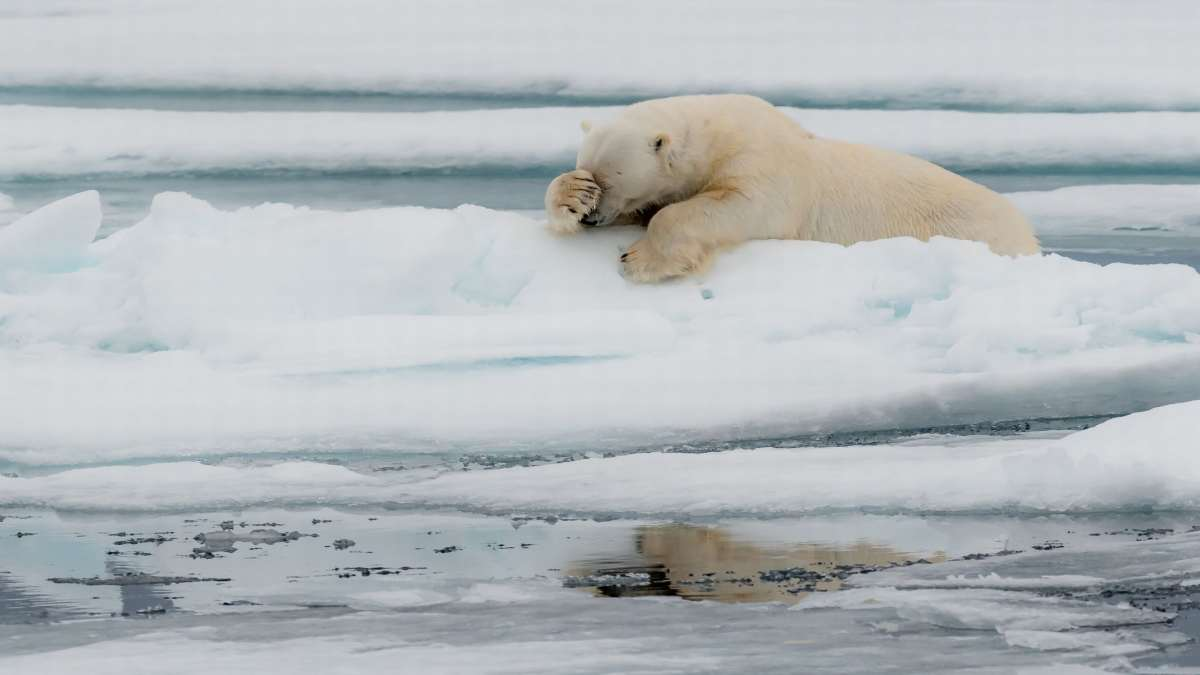 πολική αρκούδα στους πάγους