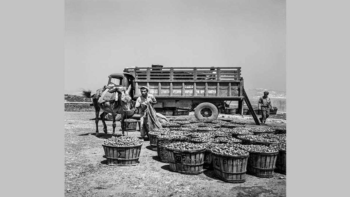 σαντορίνη 1950 μεταφορά ντομάτες με γάιδαρο