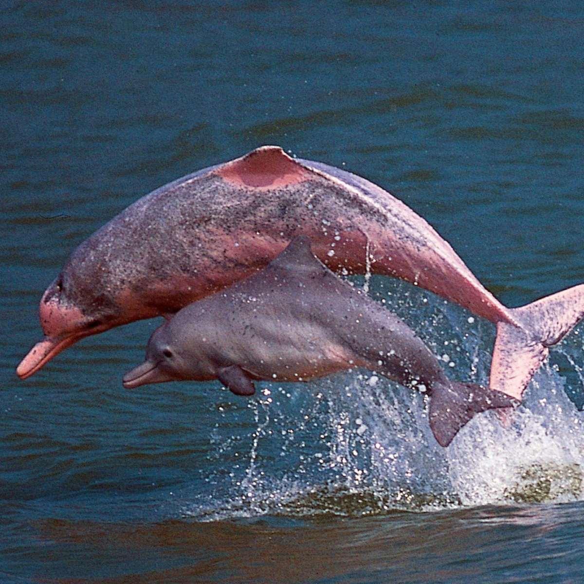 σπάνια ροζ δελφίνια στη θάλασσα