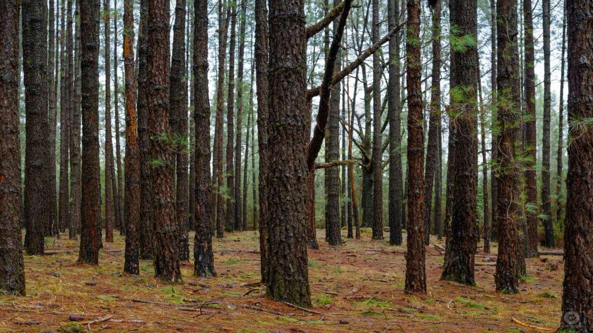 δάσος ψηλοί κορμοί