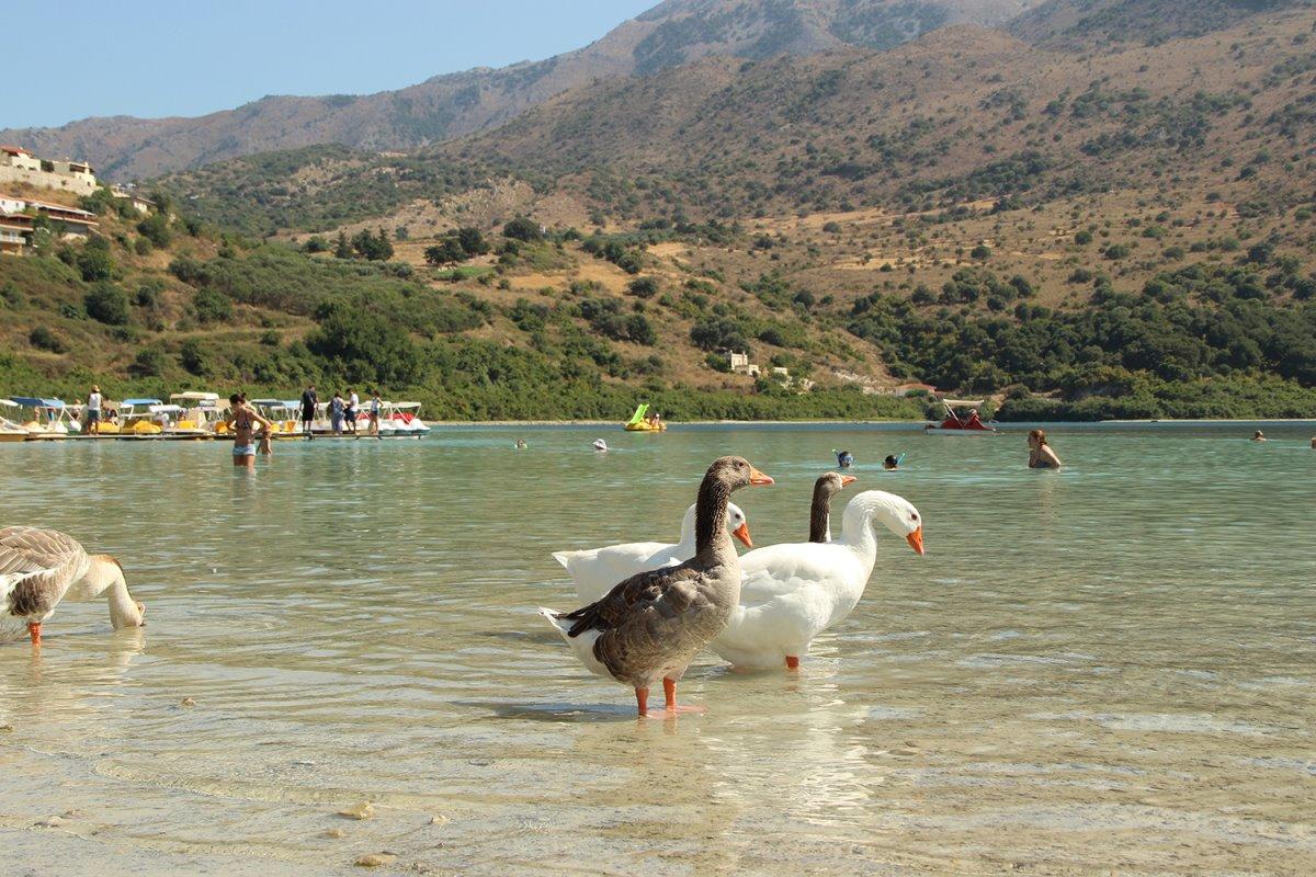 Λίμνη Κουρνά Κρήτη πάπιες