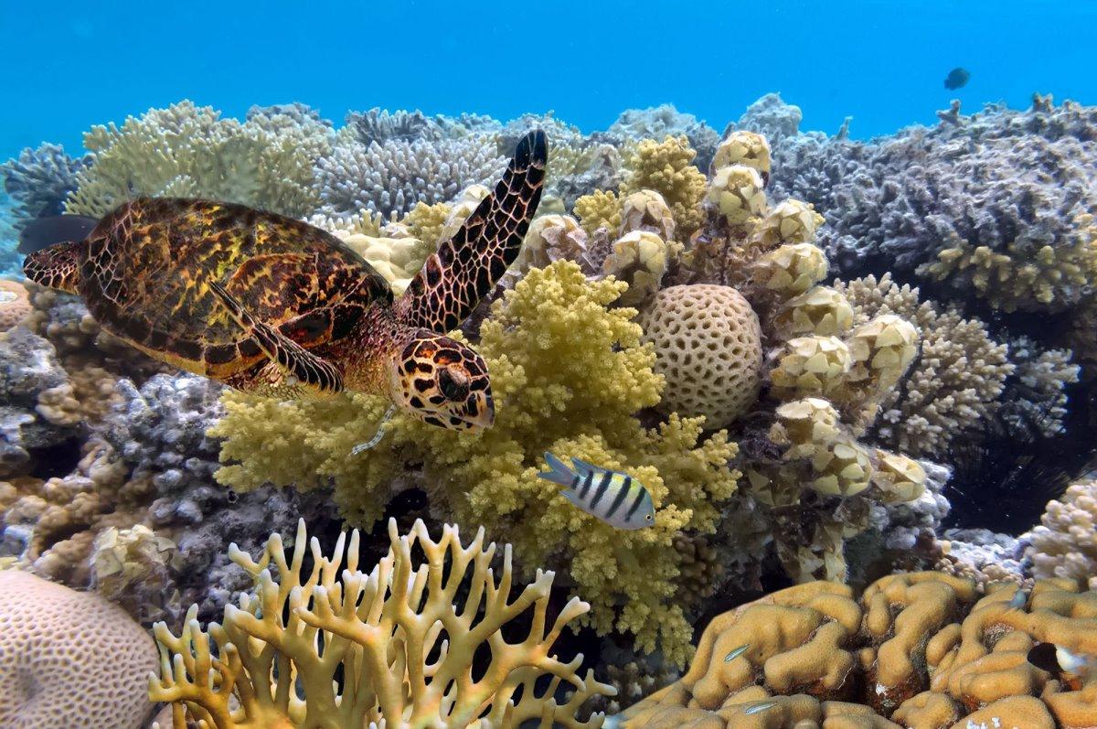 Μεγάλος Κοραλλιογενής Ύφαλος κοράλλια και χελώνα