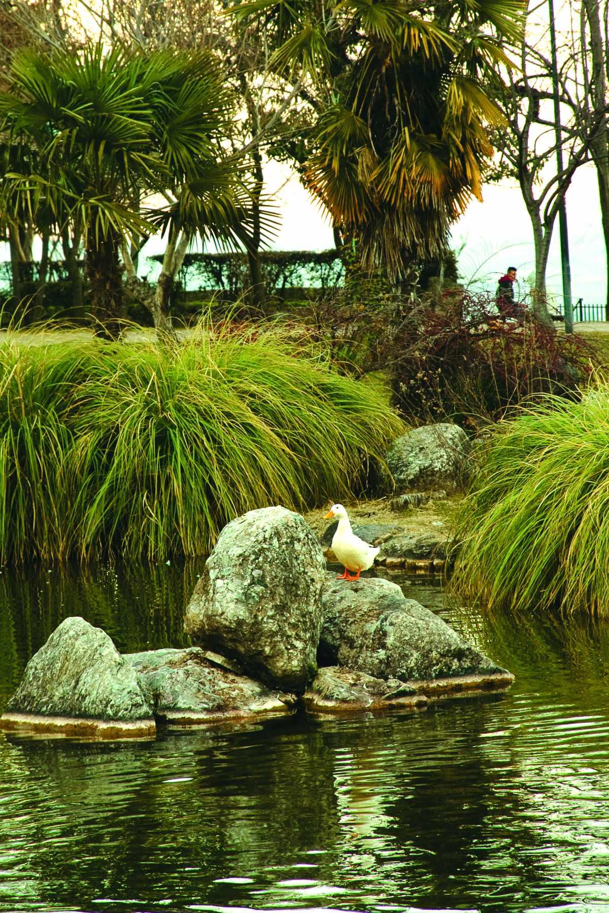 Πάπια στη λίμνη του πάρκου του Αγίου Νικολάου