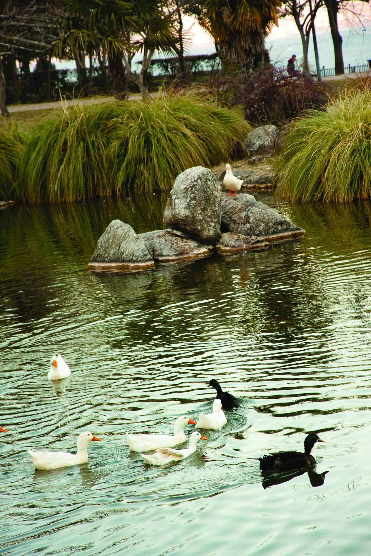 Πάρκο Αγίου Νικολάου, πάπιες στη λίμνη