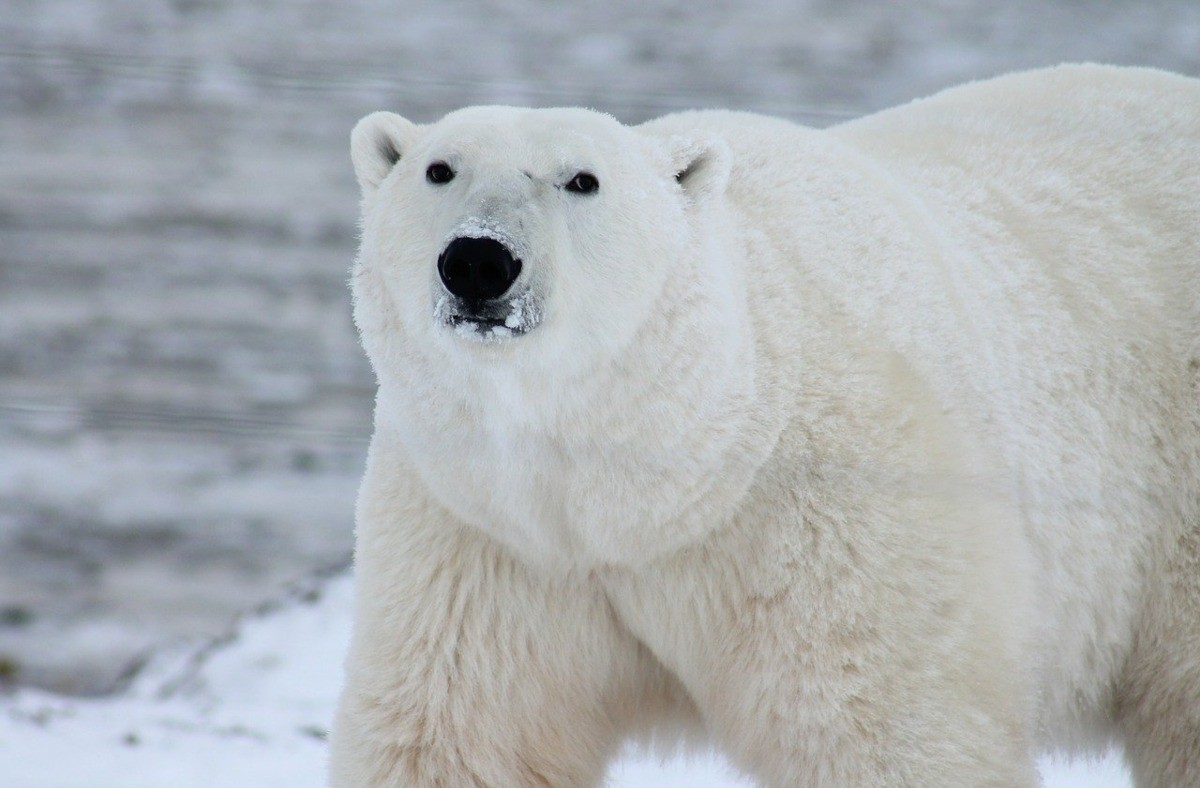 Πολική αρκούδα, Αρκτική