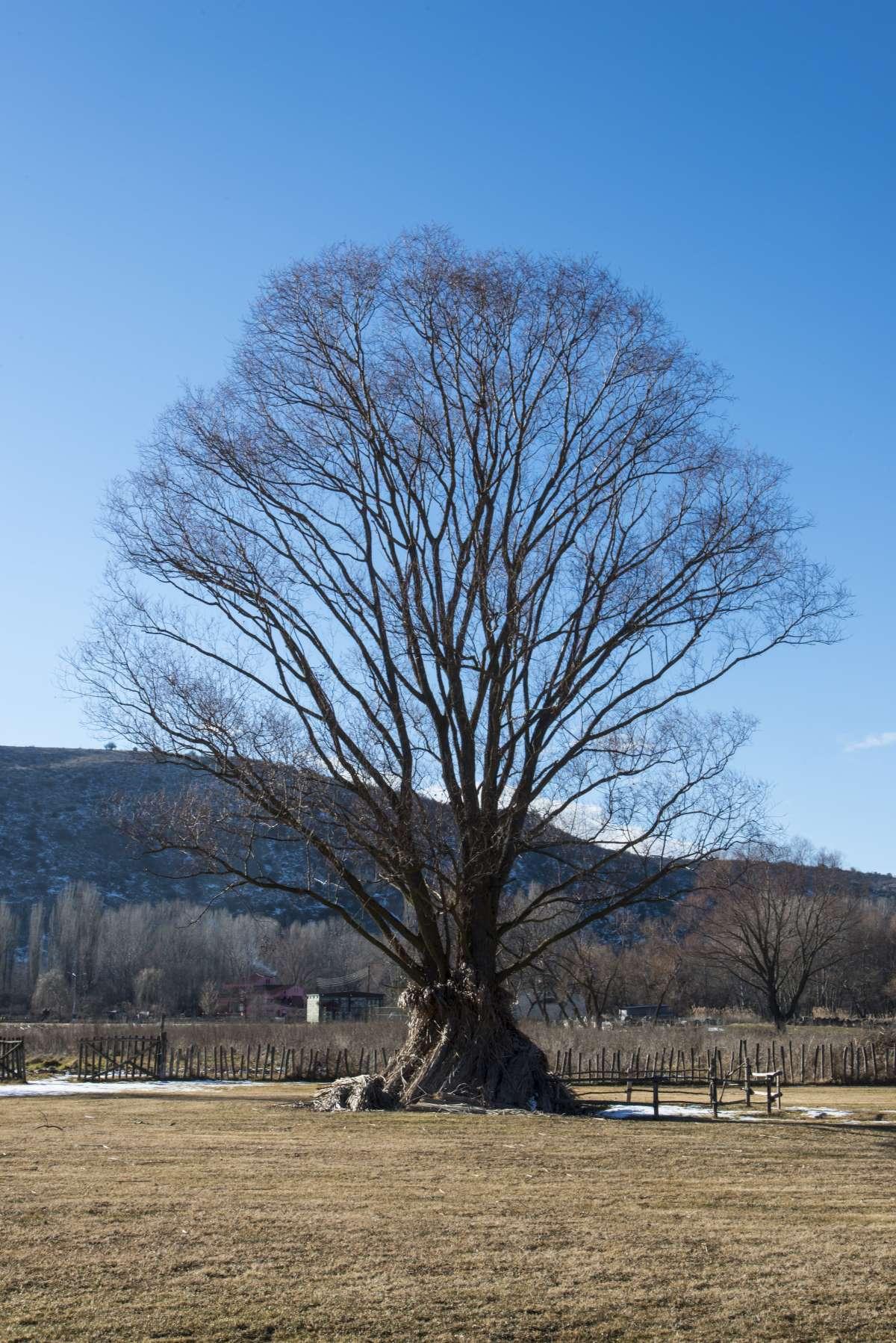 Δισπηλιό Καστοριάς, δέντρο