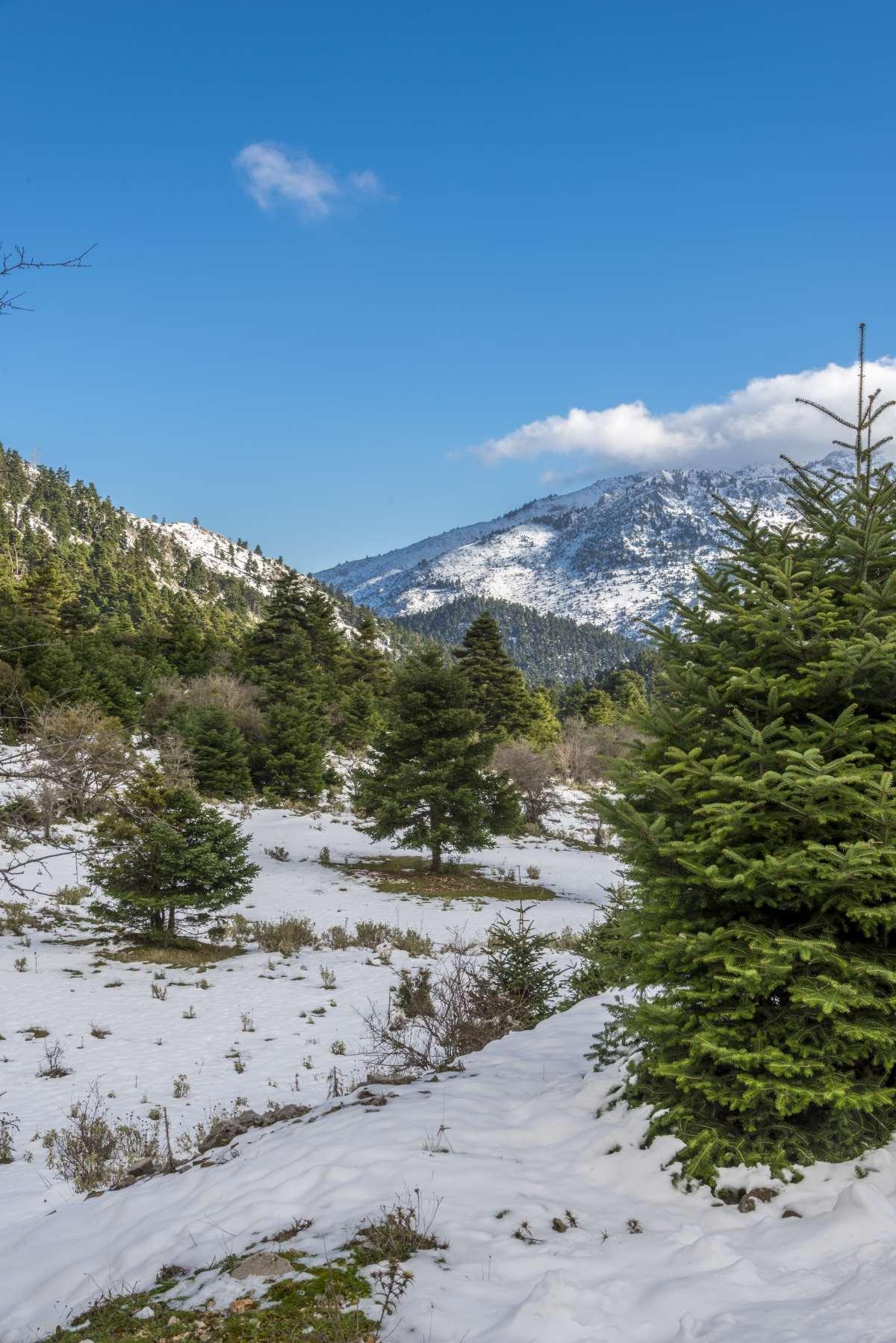 Κυριάκι Βοιωτίας, χιόνια μέσα στο δάσος, Ελικώνας